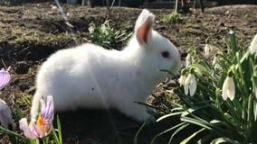 Poco el conejo blanco come las flores de la primavera Días de fiesta y animales Concepto de la Pascua metrajes