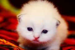Poco el gatito mullido blanco hace sus primeros pasos Doblez lindo ofendido británicos de la cara fotos de archivo libres de regalías