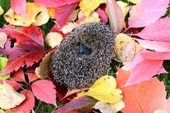 Poco erizo del bosque en un fondo de las hojas de otoño brillantes imágenes de archivo libres de regalías