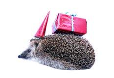 Poco erizo del bosque en un sombrero festivo y con un regalo aislado Fotografía de archivo libre de regalías