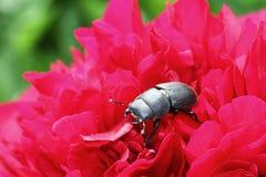 Poco escarabajo de macho Foto de archivo