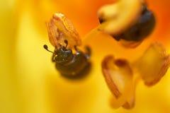 Poco escarabajo que se arrastra en la maja de la flor imágenes de archivo libres de regalías