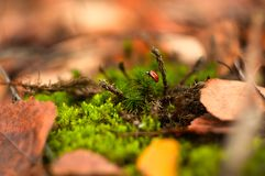 Poco escarabajo rojo que se arrastra en el musgo imagen de archivo libre de regalías