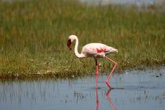 Poco fenicottero sul lago Nakuru Immagini Stock Libere da Diritti
