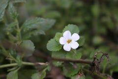 Poco fiore bianco Fotografia Stock Libera da Diritti