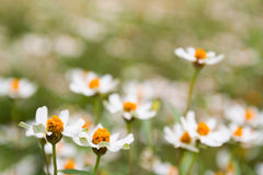 Poco fiore bianco con coregone lavarello giallo Fotografie Stock Libere da Diritti