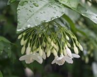 Poco fiore bianco di religiosa di Wrightia nel giardino della natura Fotografia Stock Libera da Diritti