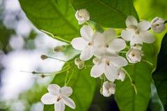 Poco fiore bianco di religiosa di Wrightia nel giardino della natura Immagini Stock Libere da Diritti