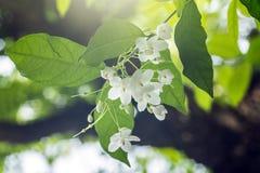 Poco fiore bianco di religiosa di Wrightia nel giardino della natura Fotografia Stock