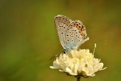 Poco fiore color crema con la farfalla fotografia stock libera da diritti