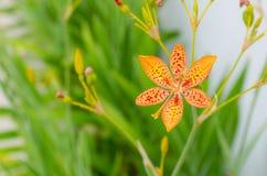Poco fiore del giglio di leopardo con dentro un fondo verde ed i bei colori arancio Immagini Stock Libere da Diritti