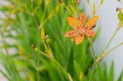 Poco fiore del giglio di leopardo con dentro un fondo verde ed i bei colori arancio Fotografie Stock Libere da Diritti