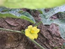 Poco fiore dell'anguria in Sri Lanka fotografie stock libere da diritti