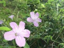 Poco fiore dell'anguria in Sri Lanka immagine stock libera da diritti