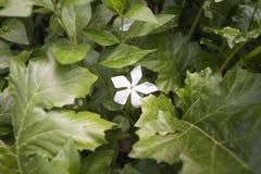 Poco fiore dentellare Fotografia Stock Libera da Diritti