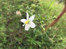 Poco fiore di wile in Sri Lanka immagini stock libere da diritti