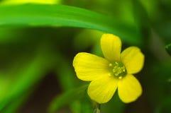 Poco fiore giallo fotografia stock libera da diritti