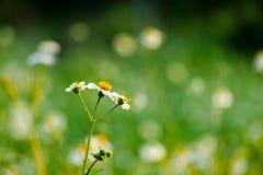 Poco fiore selvaggio con il fondo del bokeh Fotografie Stock Libere da Diritti
