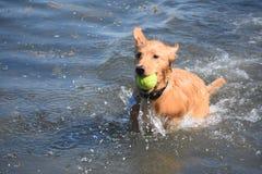 Poco fiume Duck Dog con una palla nell'oceano Fotografia Stock Libera da Diritti