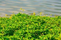 Poco flor amarilla de la estrella Foto de archivo