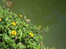 Poco floración amarilla de la flor de la estrella Fotografía de archivo