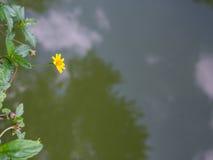 Poco floración amarilla de la flor de la estrella Fotos de archivo libres de regalías