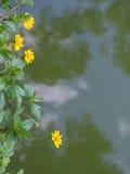 Poco floración amarilla de la flor de la estrella Foto de archivo