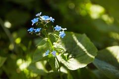 Poco flores azules de la nomeolvides en prado de la primavera en los sunlights imagen de archivo