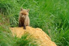 Poco Fox Fotografía de archivo libre de regalías