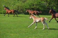 Poco funzionamento del puledro su un campo di erba verde con i fiori ed altri cavalli Immagine Stock Libera da Diritti