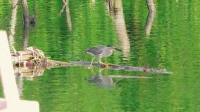 Poco garza gris está pescando en un río y se está sentando en una rama almacen de video