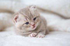 Poco gatito de orejas ca3idas ligero con los ojos azules en una estera de la piel Foto de archivo libre de regalías