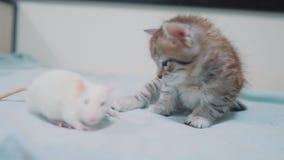 Poco gatito gris y rata blanca que se huelen ratón video raro divertido de la rata y pocos animales domésticos lindos de la amist metrajes
