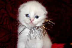 Poco gatito mullido blanco que se sienta en un sofá rojo El doblez lindo ofendido británicos de la cara se adorna con la malla, p foto de archivo libre de regalías