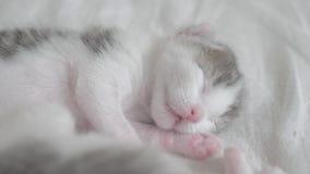 Poco gatito recién nacido lindo que duerme en la cama Pequeñas aspiraciones y contracciones nerviosas del gatito en forma de vida metrajes