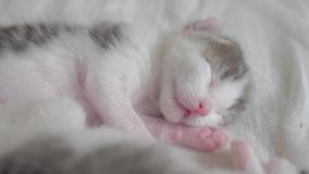 Poco gatito recién nacido lindo que duerme en la cama pequeñas aspiraciones y contracciones nerviosas del gatito en un sueño que  almacen de metraje de vídeo
