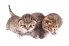 Poco 10 gatitos viejos del día Fotografía de archivo libre de regalías
