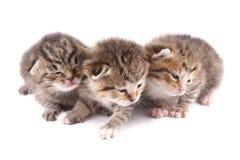 Poco 10 gatitos viejos del día Foto de archivo libre de regalías