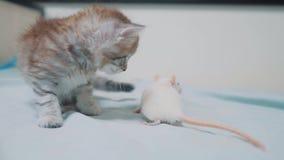 Poco gato gris del gatito y rata blanca que se huelen ratón video raro divertido de la rata y poco gatito lindo de la forma de vi almacen de metraje de vídeo