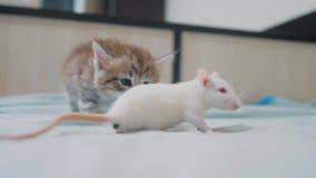Poco gato gris del gatito y rata blanca que se huelen ratón video raro divertido de la rata y poco gatito lindo de la forma de vi metrajes