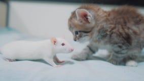 Poco gato gris del gatito y rata blanca que se huelen ratón video raro divertido de la rata y poca amistad linda del gatito metrajes