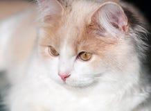 Poco gato poner crema foto de archivo libre de regalías