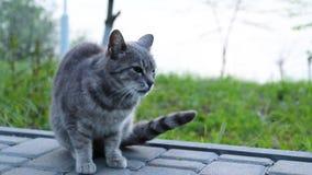 Poco gattino grigio che si siede nell'erba sul prato inglese video d archivio
