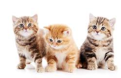 Poco gatto britannico dei gattini dello shorthair Immagine Stock
