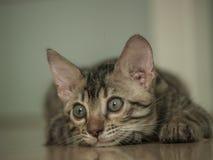 Poco gatto del Bengala Fotografie Stock