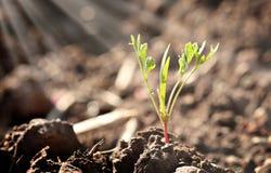 Poco germoglio della pianta giovane Immagine Stock