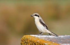 Poco giovane grigio di Shrike Fotografia Stock Libera da Diritti