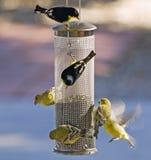 Poco Goldfinch Immagine Stock Libera da Diritti