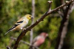 Poco Goldfinch Fotografia Stock Libera da Diritti