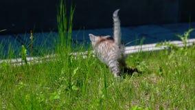 Poco Gray Kitten Play juguetón y funcionamiento en una hierba verde almacen de video